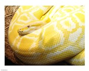 Albino Burmese Python