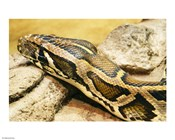 Burmese Python Head
