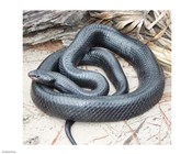 Eastern Indigo Snake