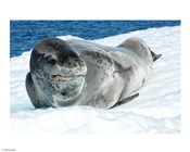Leopard Seals In Antarctica