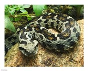 Ocellated Mountain Viper