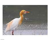 Red-Flush Cattle Egret