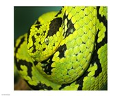 Yellow Blotched Palm Viper