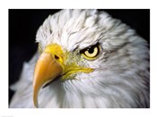Close-up of a Bald eagle (Haliaeetus leucocephalus)