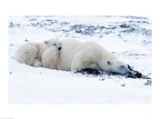 Polar bear with Cub, Cape Churchill, Manitoba, Canada