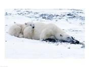 Polar bear with Cub, Cape Churchill, Manitoba, Canada