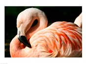 Close-up of a Sleeping Flamingo