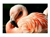 Close-up of a Sleeping Flamingo