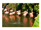American Flamingoes Wading in Water