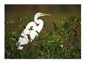 Close-up of a Great Egret Perching on a Branch