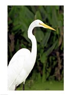 Close-up of a Great Egret