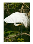 Close-up of a Great White Egret