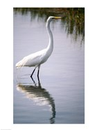 Egret In River