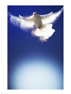 White Dove in flight - blue