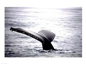 Humpback Whale Black and White Tail
