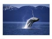 Humpback Whale  Alaska  USA
