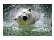 Polar Bear - swimming