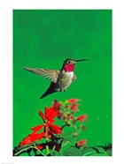 Broad-Tailed hummingbird hovering over flowers, Arizona, USA