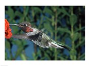 Anna's hummingbird pollinating a flower