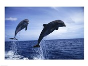 Two Bottle-nosed Dolphins jumping out of the water