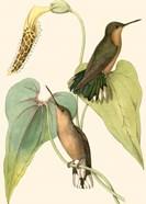 Delicate Hummingbird II