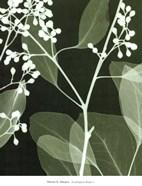 Eucalyptus Buds II