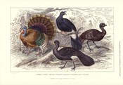 Turkey & Curassows