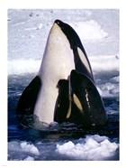 Type C Orcas