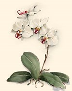 Phalaenopsis Red Throat Orchid