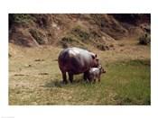 Africa, Hippopotamus (Hippopotamus amphibius) mother with young near Nile River