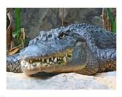 Alligator Mississippiensis