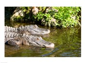American alligators in a pond, Florida, USA