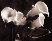 Calla Lilies No. 1