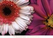 White Gerbera & Pink Dahlia