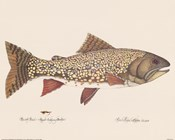 Brook Trout - Royal Coachman Bucktail