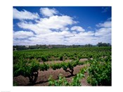 Panoramic view of vineyards, Barossa Valley, South Australia, Australia