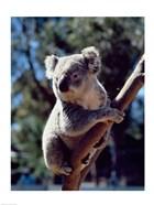 Koala on a tree branch, Australia (Phascolarctos cinereus)