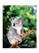 Koala on a tree branch, Lone Pine Sanctuary, Brisbane, Australia (Phascolarctos cinereus)