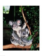 Koala and its young sitting in a tree, Lone Pine Sanctuary, Brisbane, Australia (Phascolarctos cinereus)