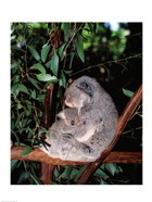 Koala hugging its young, Lone Pine Sanctuary, Brisbane, Australia (Phascolarctos cinereus)