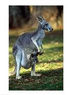 Red Kangaroos Australia