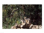 Yellow-Footed  Rock-Wallabies Australia