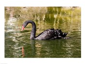 Black swan (Cygnus atratus) swimming in a pond, Australia