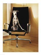An Italian Greyhound sitting on a chair