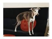 An Italian Greyhound standing on a sofa