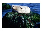 Harbor seal basking on a rock, Monterey, California, USA