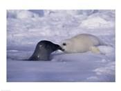 Harp Seals Rubbing Noses