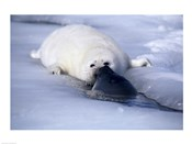 Harp Seal sniffing its pup