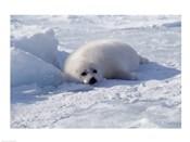 Harp Seal pup lying in snow