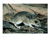 White-footed Mouse